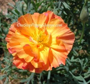 California Poppy Seeds Apricot Poppies