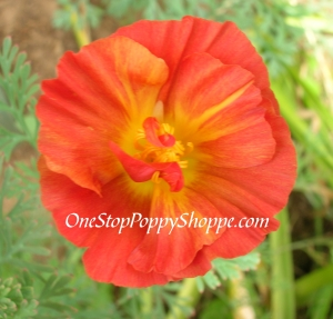California Poppies Red Chief Poppy Seeds