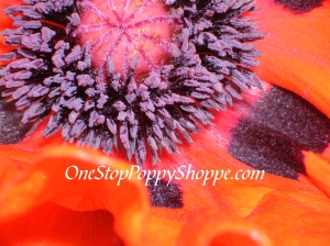 Papaver Oriental Prince of Orange