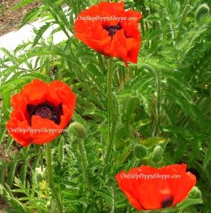 Oriental Poppies Nana Allegro
