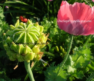 Papaver Somniferum Hens and Chicks