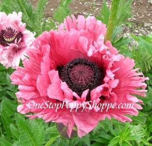 Oriental Poppy Seeds Ruffled Patty