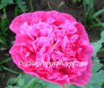 Papaver Paeoniflorum - Bright Pink