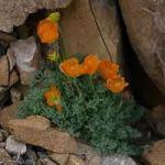 Alpine Poppy - Papaver alpinum