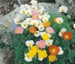 Papaver Alpinum - Alpine poppy