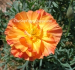 California Poppy 'Apricot Chiffon'
