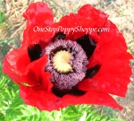 Oriental Poppy 'Beauty Of Livermore'