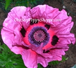 Oriental Poppy 'Patty's Plum'