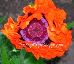 Oriental Poppy 'Prince Of Orange'