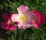 California Poppy 'Purple Gleam'
