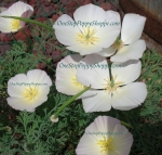 California Poppy 'White Linen'