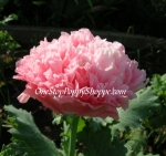 Papaver paeoniflorum 'Antique Rose' Peony Poppy Seeds