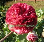 Peony Poppy Papaver paeoniflorum 'Flemish Antique'