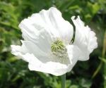 Papaver somniferum 'Album'