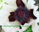 Oriental Poppy 'Royal Wedding'