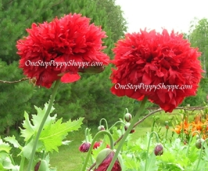 Poppy flower seeds germinating and growing poppies one stop poppy flower seeds germinating and growing poppies one stop poppy shoppe blog mightylinksfo