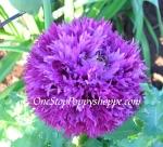 Papaver Laciniatum 'Violet Feathers'