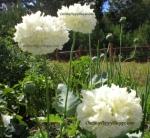 Peony Poppy - 'White Cloud'