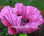 Oriental Poppy Seeds 'Pattys Plum'