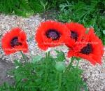 Oriental Poppy 'Turkenlouis' Papaver Orientale