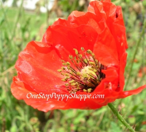 Red Papaver Rhoeas Shirley Poppy