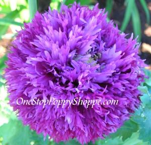 Poppy Flower Seeds Violet Poppies