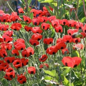Buy poppy flower seeds rare red tulip poppies one stop poppy buy poppy flower seeds rare red tulip poppies one stop poppy shoppe blog mightylinksfo